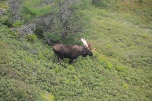 Newfoundland_Moose_Hunting_Ironbound_Outfitters_15083118