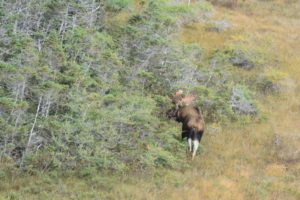 Newfoundland_Moose_Hunting_Ironbound_Outfitters_15100916