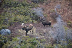 Moose Hunting Outfitter Newfoundland Canada