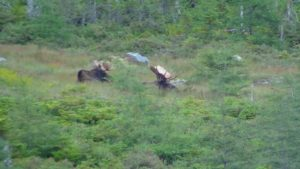 Newfoundland_Moose_Hunting_Ironbound_Outfitters_17090908